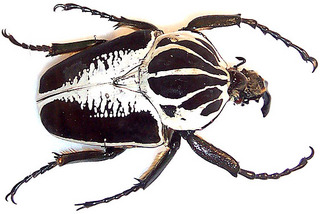 Goliath_beetle.jpg