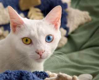 June_odd-eyed-cat.jpg