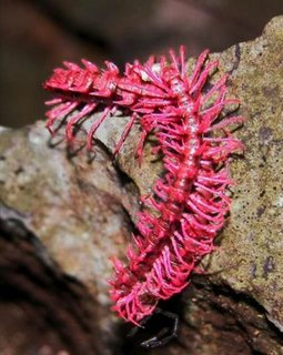Shocking Pink Dragon Centipede.jpg