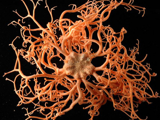 census-marine-life-aberdeen-basket-star_23054_big.jpg