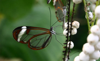 glasswing.jpg