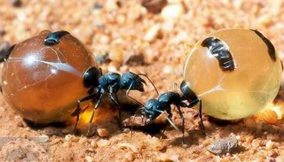 insect_honeypot_ant05.jpg