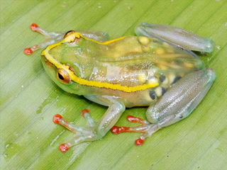 lost-frogs-rediscovered-congo-see-through-frog_35650_big.jpg