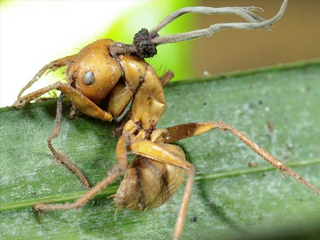 zombie-fungus-infects-insects-mind-control-ant-infected_32848_big.jpg